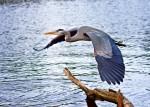 Blue Heron_sm 003